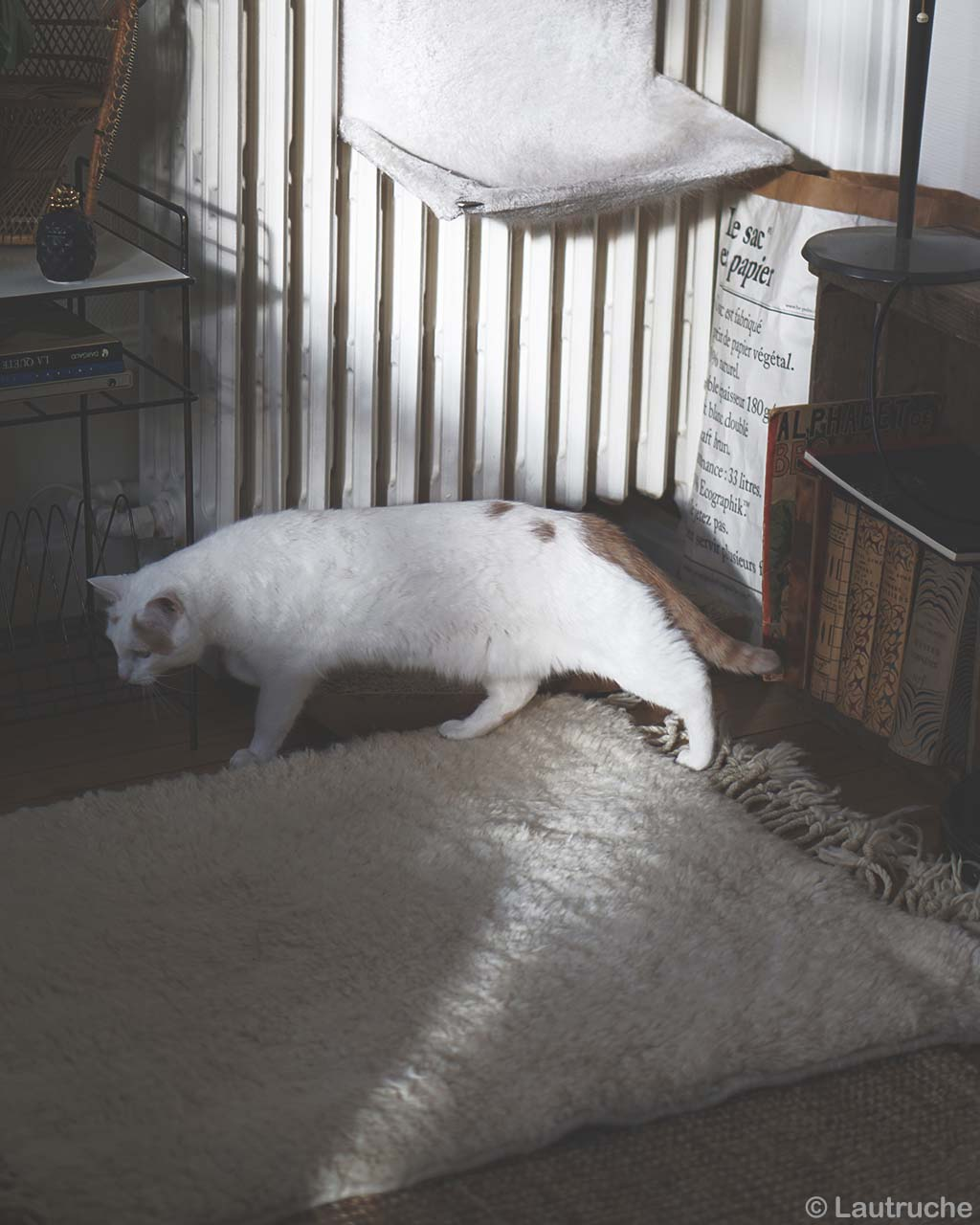 hand knotted beautiful white cat on floor from morocco designer carpets and rugs