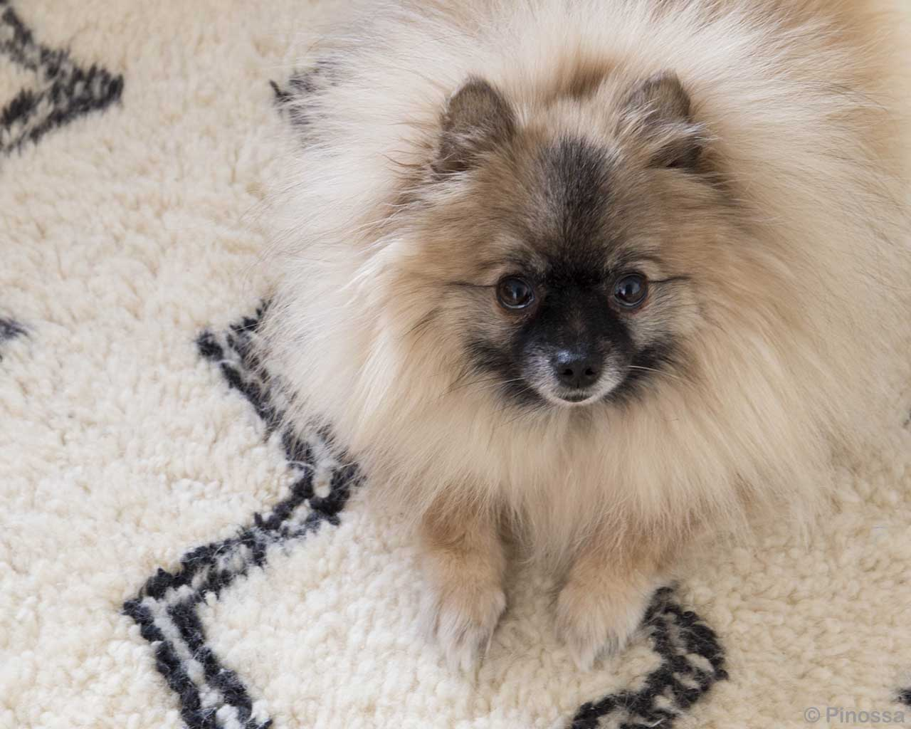 puppy staring at camera asian danish design area rugs