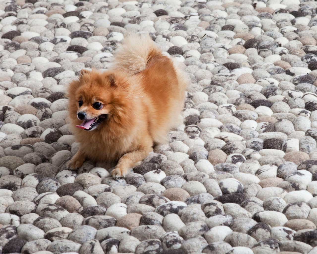 small dog on carpet stones natural